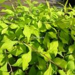 Ceratostigma willmotianum Aurea (3)