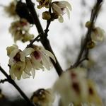 Chimonanthus praecox (2)