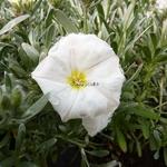 Convolvulus cneorum (1)