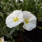Convolvulus cneorum (3)