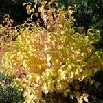 Cornus sanguinea Winter Beauty (1)