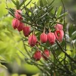Crinodendron hookerianum (1)