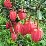 Crinodendron hookerianum (3)