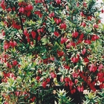 Crinodendron hookerianum (2)