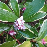 Daphne odora Aureomarginata (2)