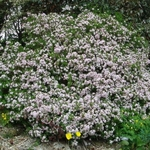 Daphne odora Aureomarginata (6)