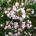 Escallonia Apple Blossom (2)