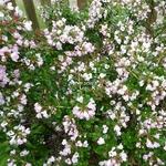 Escallonia Apple Blossom (1)