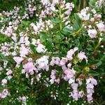 Escallonia Apple Blossom (3)