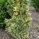 Euonymus japonicus Bravo (3)
