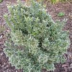 Euonymus japonicus Microphyllus Albovariegatus (2)