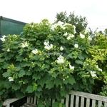 Hibiscus mutabilis Alba (1)