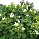 Hibiscus mutabilis Alba (2)