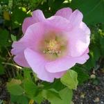 Hibiscus mutabilis Rosea (4)