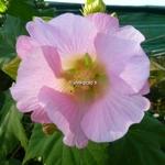 Hibiscus mutabilis Rosea (1)