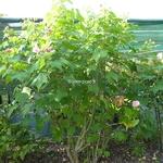 Hibiscus mutabilis Rosea (2)