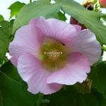 Hibiscus mutabilis Rosea (3)