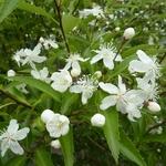 Hoheria sexstylosa (4)