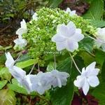 Hydrangea marophylla Hanabi (3)
