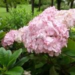 Hydrangea serrata Preziosa (2)