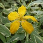 Kerria japonica Picta (1)