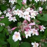 Kolkwitzia amabilis Pink Cloud (4)