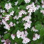 Kolkwitzia amabilis Pink Cloud (5)