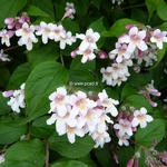 Kolkwitzia amabilis Pink Cloud (6)