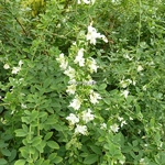 Lespedeza thunbergii White Fountain (3)