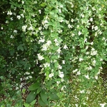 Lespedeza thunbergii White Fountain (2)