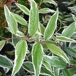 Leucothoe fontanesiana Whitewater (1)