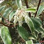 Leucothoe fontanesiana Whitewater (6)