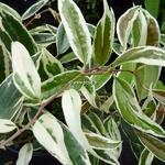 Leucothoe fontanesiana Whitewater (2)
