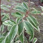 Leucothoe fontanesiana Whitewater (5)