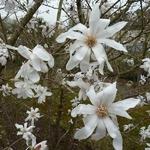 Magnolia stellata (3)