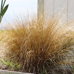 Carex buchananii (2)