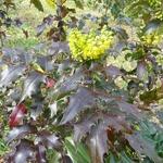 Mahonia x wagneri Fireflame (3)
