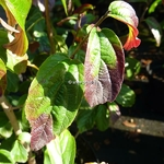 Parrotia persica Persian Spire (1)