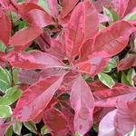 Photinia fraseri Pink Marble (4)