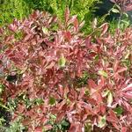 Photinia fraseri Pink Marble