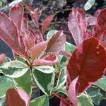 Photinia fraseri Pink Marble (8)