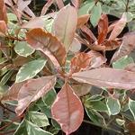 Photinia fraseri Pink Marble (9)