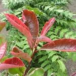 Photinia fraseri Pink Marble (10)