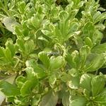Pittosporum tobira Variegatum (5)