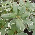 Pittosporum tobira Variegatum (6)