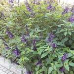 Salvia Amistad (1)