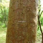 Stewartia sinensis (4)