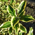 Elaeagnus ebbingei Gilt Edge (1)