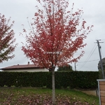 Acer freemanii Autumn Blaze (3)