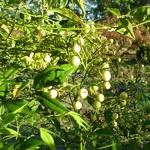 Nandina domestica Leucocarpa (3)